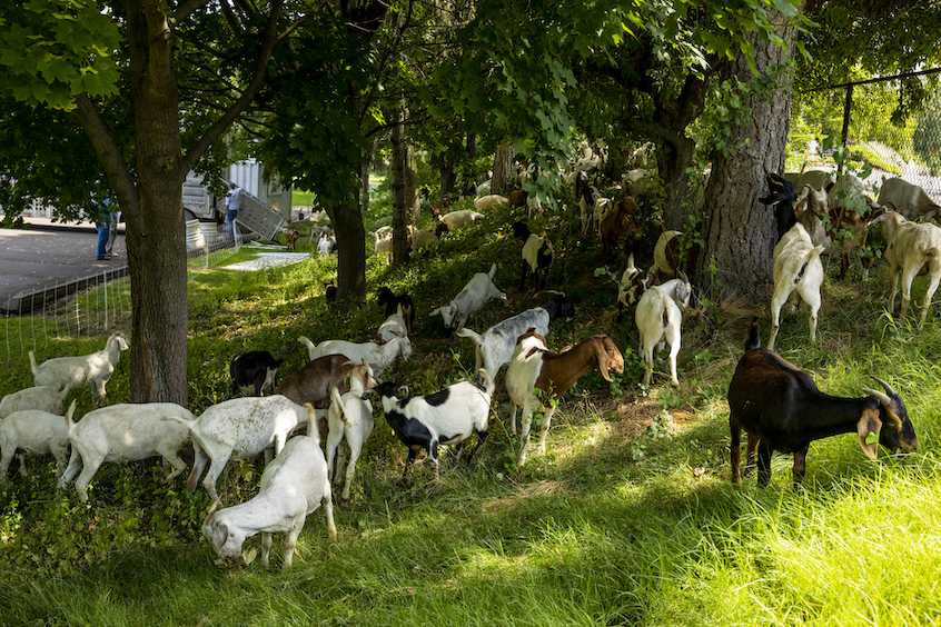 Herd of goats grazing