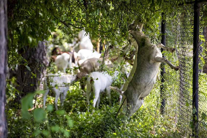 Goats munch on overhanging vegetation