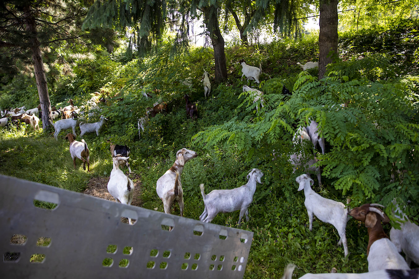 Goats grazing on a slight inclince
