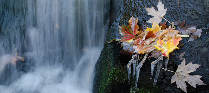 Frozen Leaves clinging to a rock.