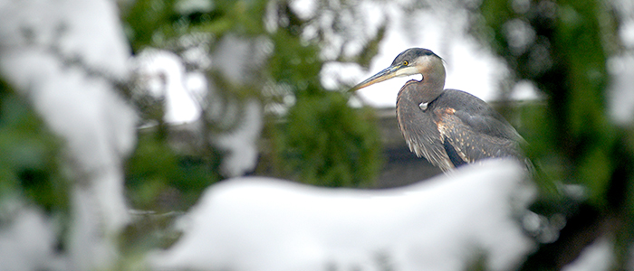 Great Blue Heron residing on Whitman Campus