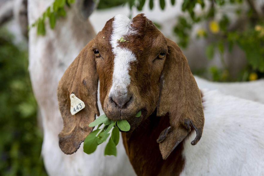 Close up image of brown and white goat