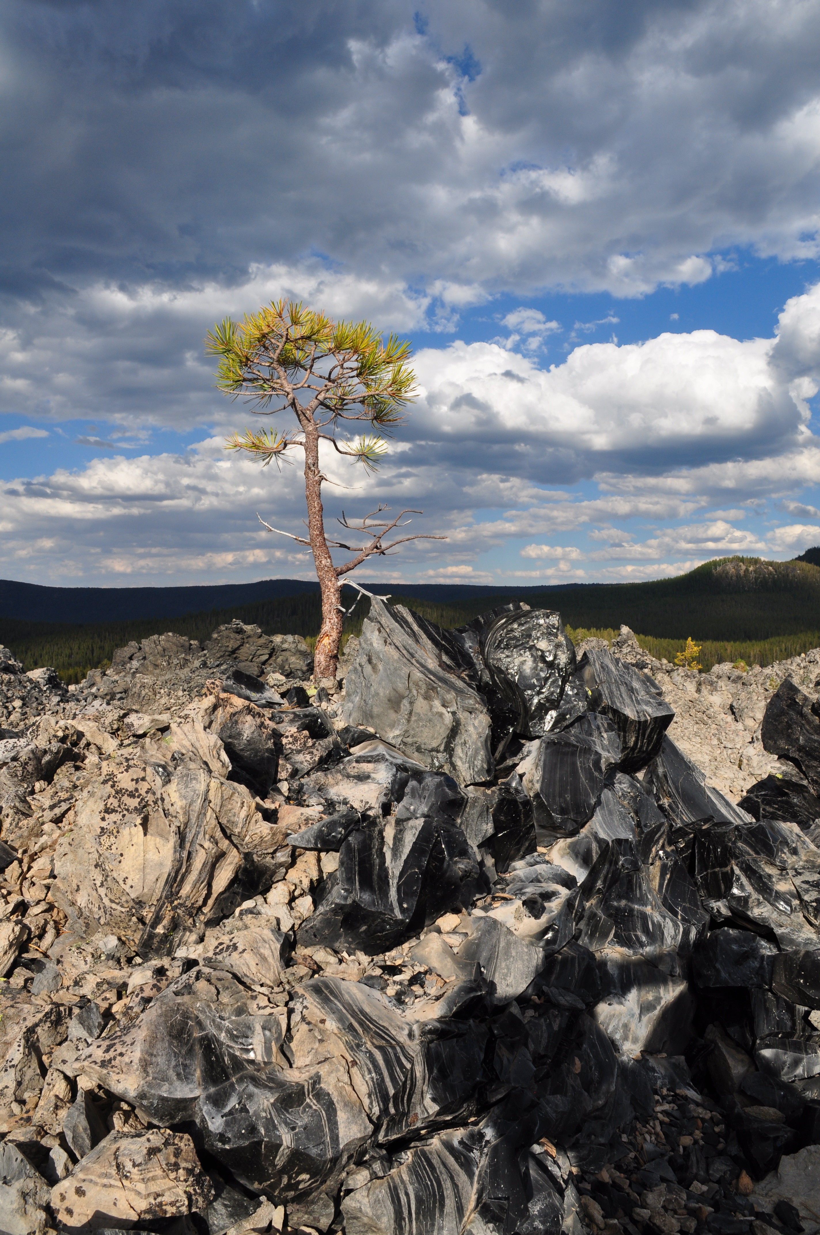 Lone tree on Big Obsidian Flow, Newberry Craters, OR