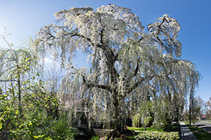 A weeping cherry tree at Whitman College.