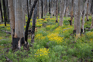 A photo of flowers blooming among burnt snags.
