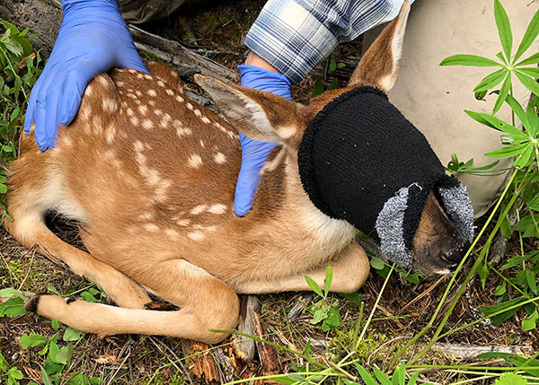A fawn wears a blindfold while researchers take measurements.