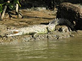 marino ballea - crocodile