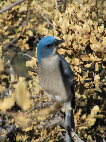 The Mexican Jay is one of over 400 species of birds found throughout the park, making Big Bend National Park a birding hotspot. (Photo by Will Bender)