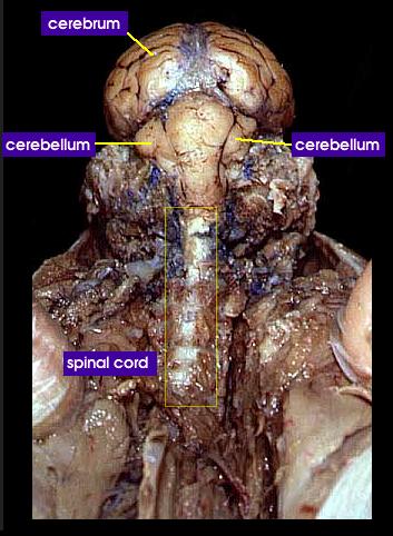 cervical region