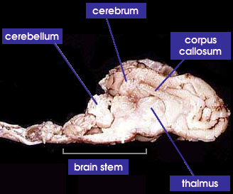 cranial region
