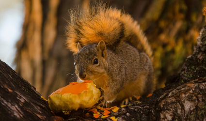 Squirrel enjoying a treat.